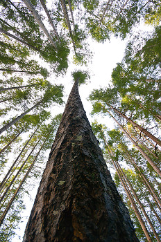 Looking Up ~ Forest picture from Cortes Island Canada.