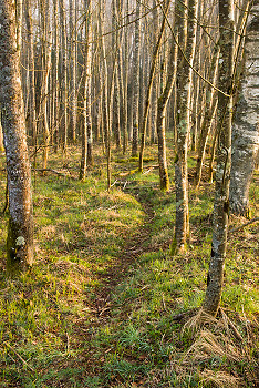 Path in the Alders ~ Forest picture from Aillevillers France.