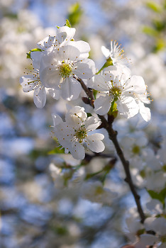 Cherry Blossoms ~ Flower picture from France France.
