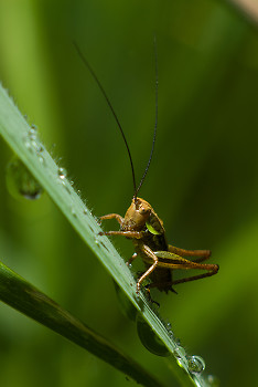 Cricket ~ Insect picture from France France.