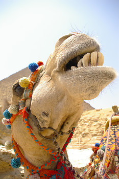 Dental Floss Time  Perhaps? ~ Camel picture from Giza Egypt.
