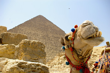 Smile ~ Camel picture from Giza Egypt.