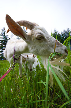 Grazing Goat  ~ Goat picture from Cortes Island Canada.