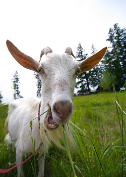 No kidding, It's a Goat! ~ Goat picture from Cortes Island Canada.