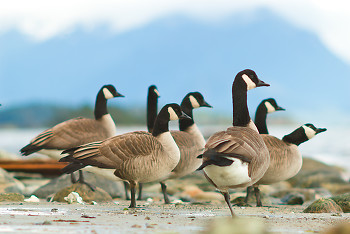 Canada Geese ~ Goose picture from Cortes Island Canada.