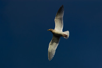 Glaucous-winged Gull ~ Gull picture from Cortes Island Canada.