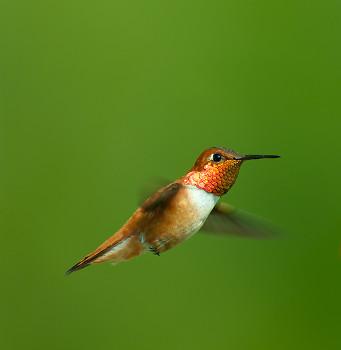 Male Rufus Hummingbird ~ Hummingbird picture from Cortes Island Canada.