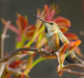 Rufous Hummingbird ~ Hummingbird picture from Cortes Island Canada.