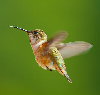 Rufous Hummingbird ~ Hummingbird picture from Cortes Island Canada.
