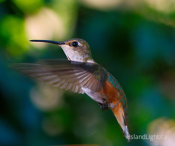 Rufus hummingbird - IV ~ Hummingbird picture from Cortes Island Canada.