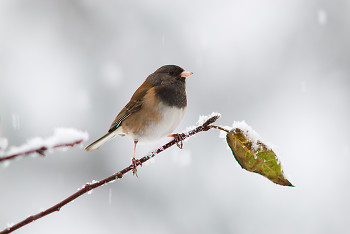 Junco ~ Junco picture from Cortes Island Canada.