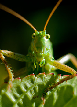 I Spy A Katydid ~ Katydid picture from Aillevillers France.