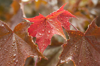 Autumn Maple Leaves ~ Maple Leaf picture from Cortes Island Canada.