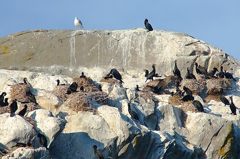 Nesting Double-crested Cormorants ~ Cormorant picture from Mitlenatch Island Canada.