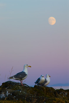 Three Glaucous Winged Gulls ~ Gull picture from Mitlenatch Island Canada.