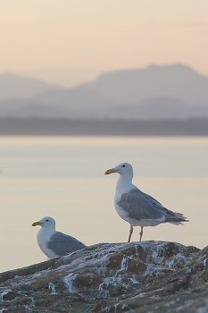 Glaucous Winged Gulls at Dusk ~ Gull picture from Mitlenatch Island Canada.