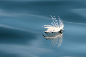 Floating Seagull Feather ~ Nature Still Life picture from Mitlenatch Island Canada.