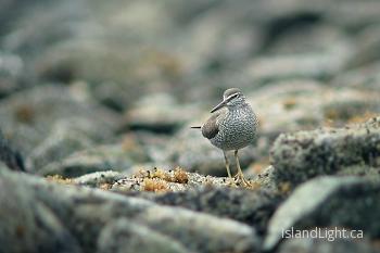 Wandering Tattler ~ Wading Bird picture from Mitlenatch Island Canada.