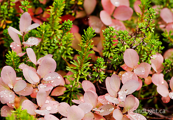 Paradise Meadows Foliage ~ Plant  picture from Mount Washington Canada.