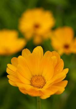 Calendula ~ Plant picture from Cortes Island Canada.
