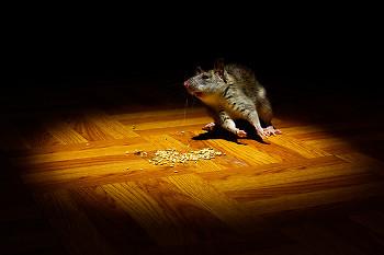 The Interloper ~ Rat picture from Cortes Island Canada.
