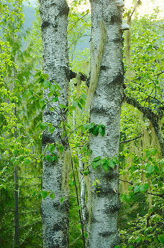 Twin Birches ~ Birch Tree picture from Slocan Valley Canada.
