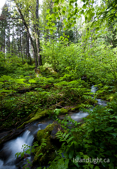 Climax Creek beneath the birch trees ~ Creek picture from Slocan Valley Canada.