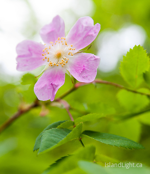 Wild Rose Blossom ~ Flower picture from Slocan Valley Canada.