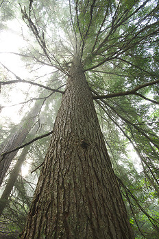 Hemlock Elder ~ Hemlock Tree picture from Slocan Valley Canada.
