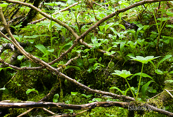 Devil's Club beside the creek ~ Plant  picture from Slocan Valley Canada.