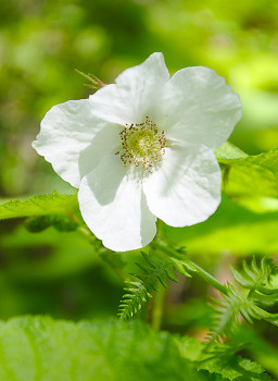 Thimble Berry Flower ~ Thimble Berry picture from Slocan Valley Canada.