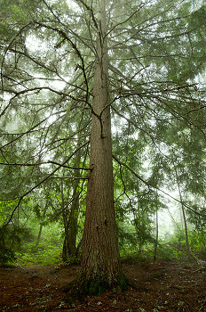 Western Hemlock ~ Tree picture from Slocan Valley Canada.