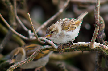 House Sparrow ~ Sparrow picture from Paris France.