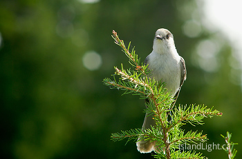 Portrait of a Gray Jay ~ Whiskey Jack picture from Strathcona Provincial Park Canada.