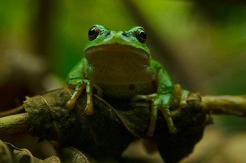 Pacific Chorus Frog ~ Tree Frog picture from Cortes Island Canada.