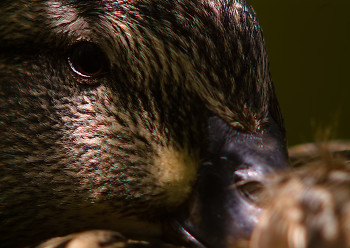 Mallard Portrait ~ Duck picture from Vancouver Canada.