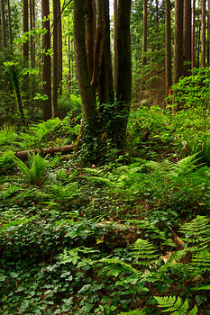 A Wild Spot in Pacific Spirit Park 2 ~ Forest picture from Vancouver Canada.
