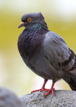 Rock Dove ~ Pigeon picture from Vancouver Canada.