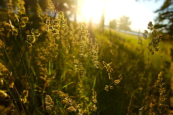 Meadow Landscape ~ Wild-grass picture from Cortes Island Canada.