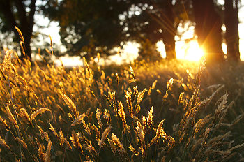 Wild Grasses In Evening Sunlight 2 ~ Wild Grass picture from Cortes Island Canada.