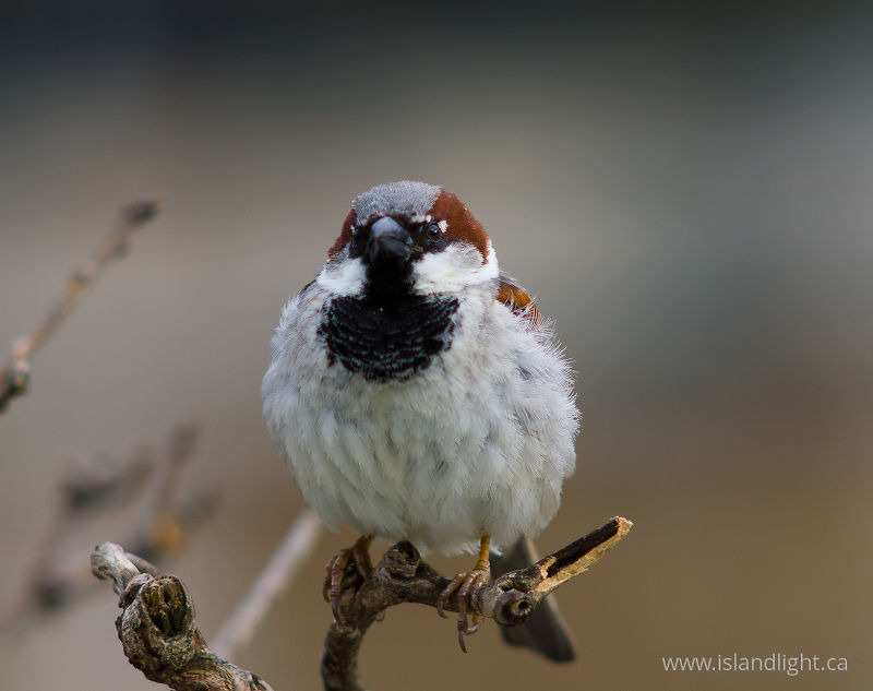 House Sparrow -   photo