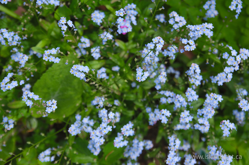 many Little Forget-Me-Nots -  Flower photo