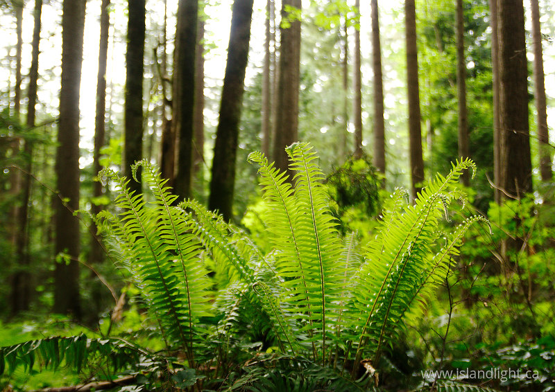 Ferns in Pacific Spirit Park - Pacific Spirit Park Forest photo