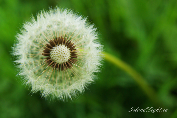 Dandelion ~ Dandelion Photo from Aillevillers France.