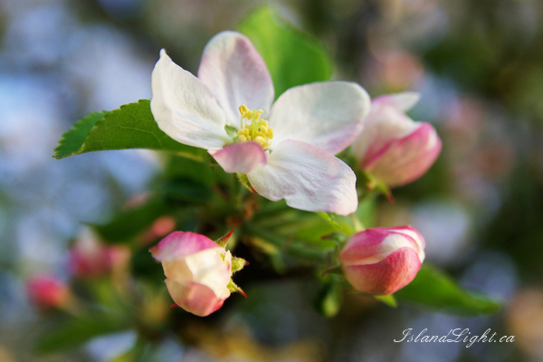 Apple Blossoms ~ Flower Photo from Aillevillers France.