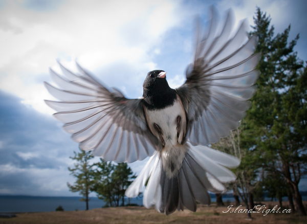 Junco photo