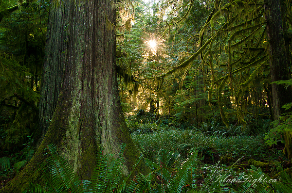 Light in the Forest No. 4 - Cortes Island Forest photo