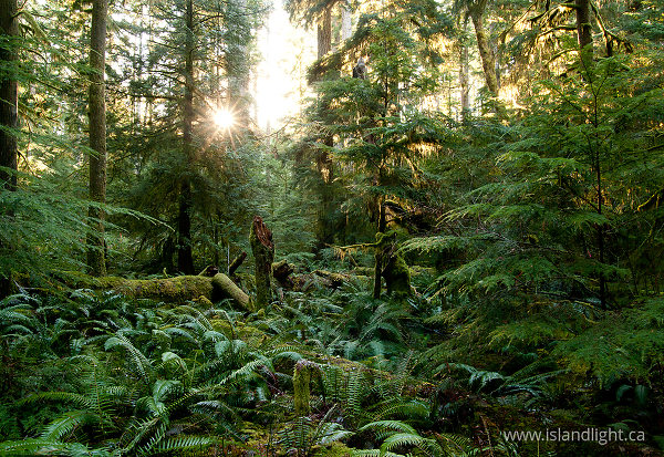 Light in the Forest No. 3 - Cortes Island Forest photo