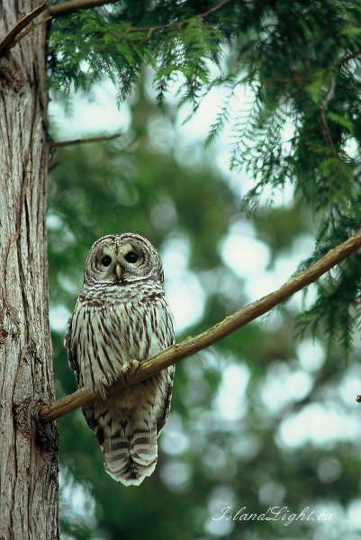 Barred Owl -  Owl photo