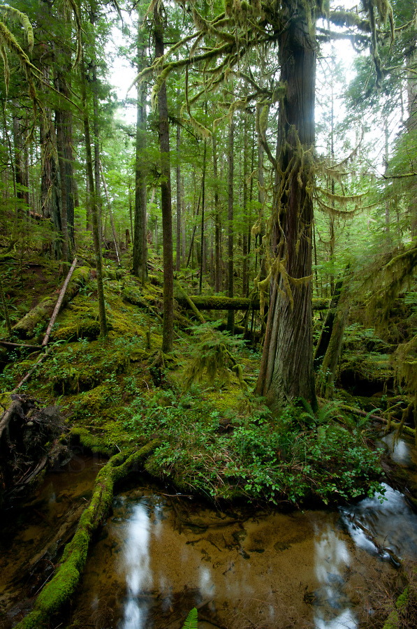 Old growth red cedar forest photo from cortes island bc